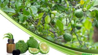 Бергамот (Citrus bergamia)