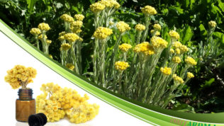 Бессмертник (Helichrysum)