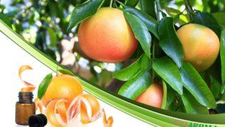 Грейпфрут (Grapefruit)