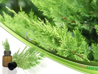 Кипарис (Cypress)