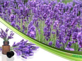 Лаванда (Lavender)